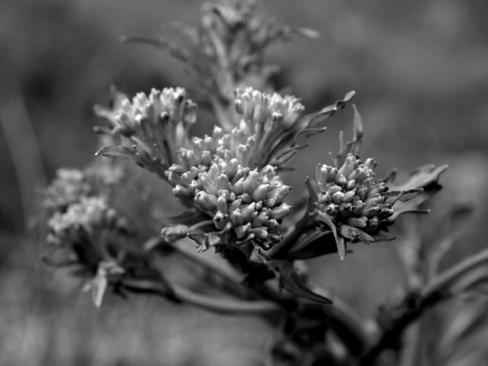 Beauty In Nature Blackandwhite Close-up Day Flower Flower Head Fragility Freshness Growth Nature Nature_collection Naturelovers No People Outdoors Plant
