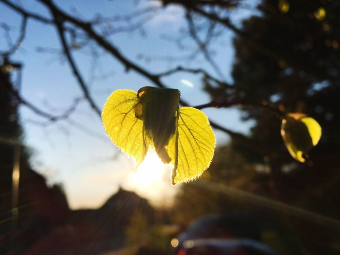 Yellow Nature Focus On Foreground Flower Beauty In Nature No People Day Outdoors Growth Leaf Fragility Close-up Branch Tree Sky Freshness Flower Head Springtime Firstleaves. IPhoneography Iphone6s