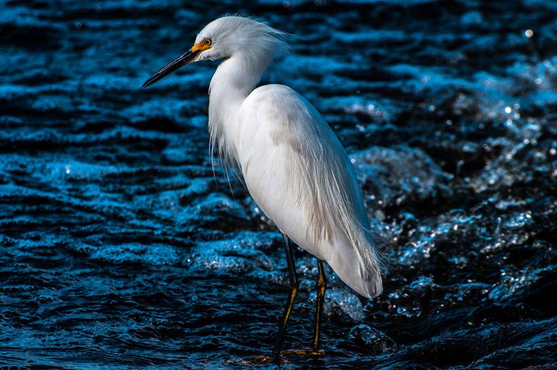 White duck in sea