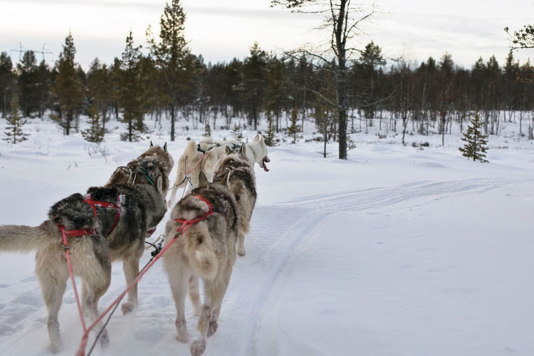 Rear view of sled dogs running on snowcapped field