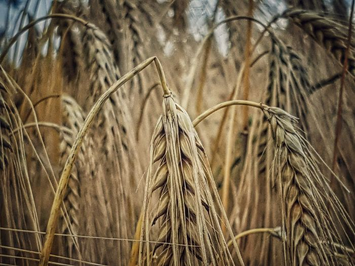 Agriculture Growth Nature Crop  Wheat Cereal Plant No People Field Plant Day Close-up Full Frame Beauty In Nature Outdoors Ear Of Wheat