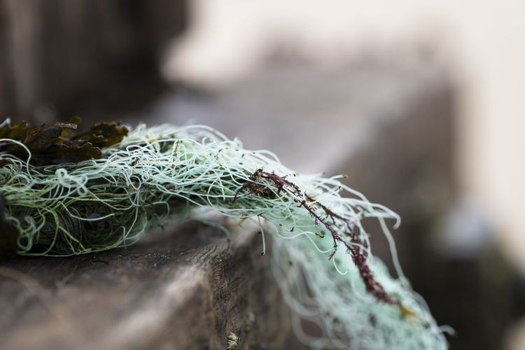 Close-up of seaweed with fishing net on wood