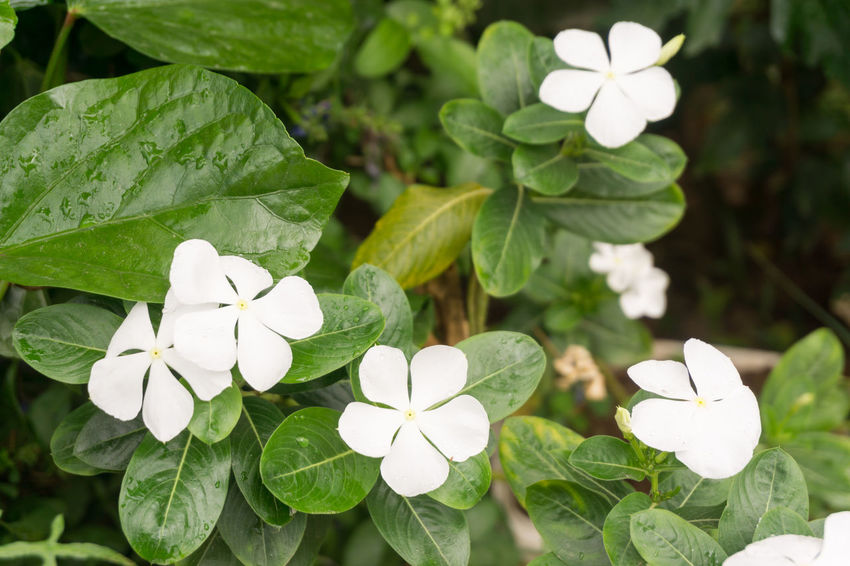 White tropical flowers in the Philippines Angono, Rizal, Philippines Day Foliage, Vegetation, Plants, Green, Leaves, Leafage, Undergrowth, Underbrush, Plant Life, Flora Green Green Green!  Leaves🌿 Outdoors Outside White Flowers -