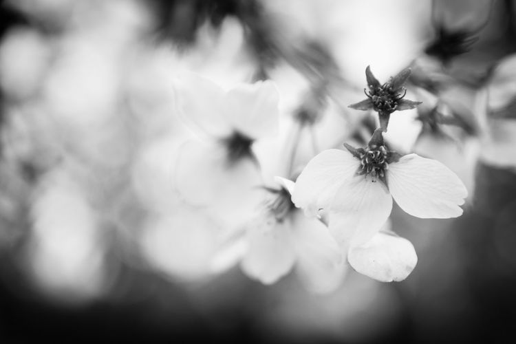 Wax cherry tree flowers before losing their petals in early April, in a japanese styled garden in downtown Bucharest. The power of the bokeh technique tames the forms and reveals their picturesque and sketchy, curvy lines and contrasts. Beauty In Nature Black And White Black And White Photography Bokeh Bokeh Photography Botany Bucharest Cherry Cherry Blossoms Close-up Fine Art Photography Fine-art Fine-art Photography Flower Fragility Japanese Garden Japanese Gardens Nature No People Outdoors Petal Photography Pollen Romania Wax Cherry