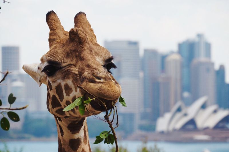 Close-up of giraffe eating plants in city against sky