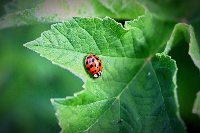 Leaf Insect One Animal Green Color Animal Themes Animals In The Wild Close-up Day Nature No People Outdoors Growth Plant Beauty In Nature Fragility Ladybug Freshness Live For The Story