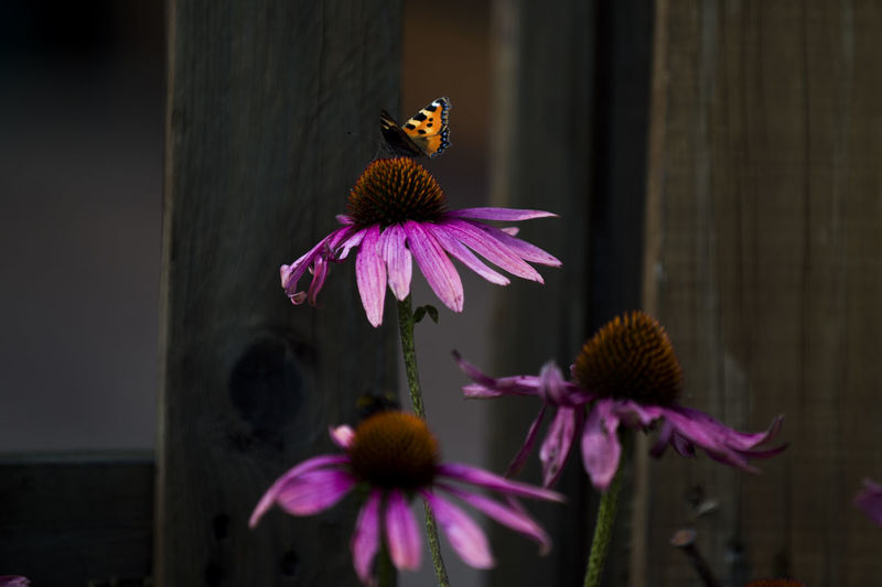 Close-Up Of Butterfly On Eastern Purple Coneflower