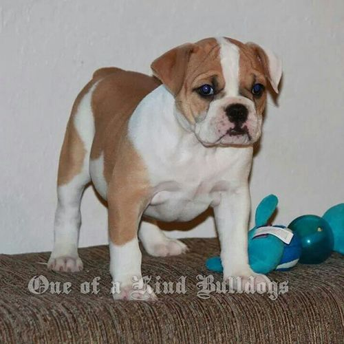 One of a Kind's Fancy Beef Brisket, an available girl off our Fancy and Beef litter. Oneofakindbulldogs Oldeenglishbulldogges Oldeenglishbulldogge Oldenglishbulldogs oldenglishbulldog premierbreeder oeb oebpuppies puppiesforsale cute adorable bulldogpuppies toocute victorianbulldogs bulldog bulldogs bulldogges bullyinstagram bullyinstafeature keepitbully staybully bullylife SanDiego SoCal californiadreamin SD lovemylife dogoftheday