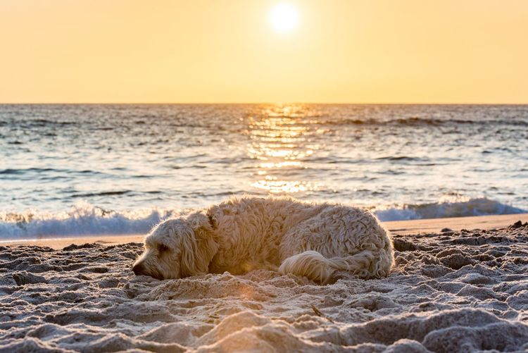 Sea Sunset Beach Animal Themes Lying Down One Animal Nature Relaxation Horizon Over Water Sand No People Animals In The Wild Outdoors Water Wave Beauty In Nature Mammal Sky Day Dog
