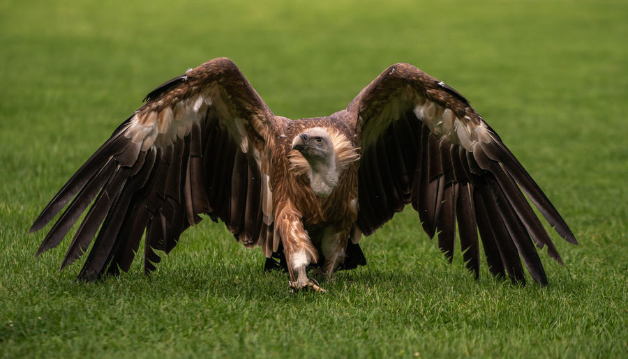 A griffon vulture in the grass Bird Animal Animal Themes Grass Animals In The Wild Animal Wildlife Spread Wings Flying Bird Of Prey Plant Vertebrate One Animal Nature Green Color Field Vulture No People Day Land Outdoors Animal Wing Eagle Griffon Vulture