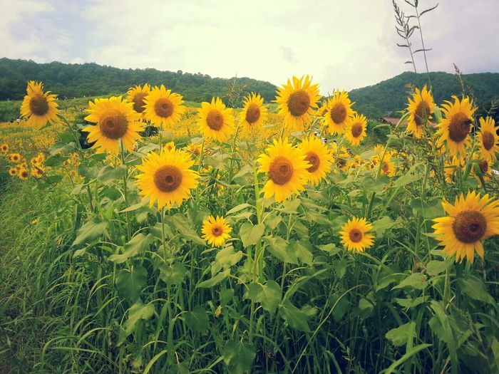 Les Ulis Flowers Sunflower Tournesol Sunlight Flower Flower Collection Tournesols Le Tournesol Fleurs