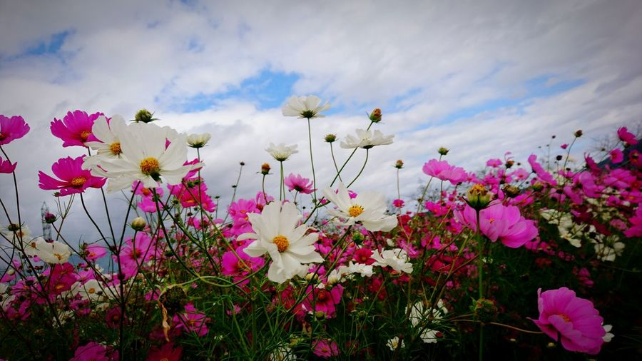 Flower Plant Nature Beauty In Nature Sky Growth Blossom No People Beauty Flower Head Japan Ōmihachiman Cosmos