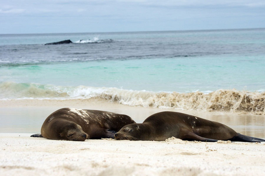 Aquatic Mammal Asleep On The Beach Beach Beauty In Nature Galapagos Nature No People Outdoors Relaxing By The Sea Sea Two Animals