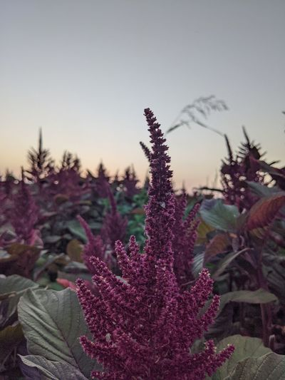 Close-up of purple flowering plant on field against sky