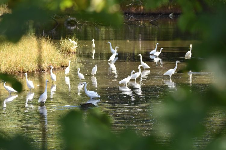 Egrets In Pond Seen Through Tree