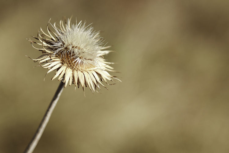 Close-up of thistle dandelion