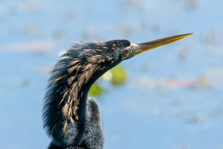 Anhinga Head And Neck With Water Background Animal Animal Body Part Animal Eye Animal Head  Animal Neck Animal Themes Animal Wildlife Animals In The Wild Beak Bird Close-up Day Focus On Foreground Lake Looking Away Nature No People One Animal Outdoors Side View Vertebrate Water