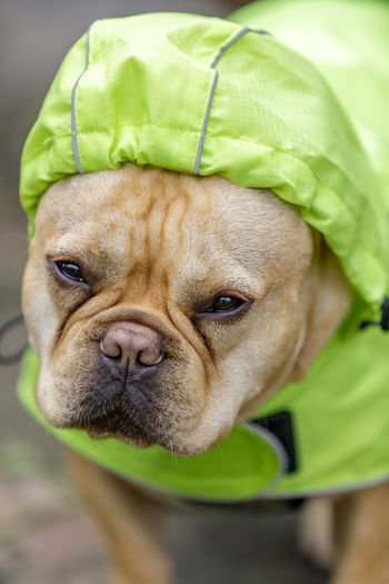 Frenchie in reflective raincoat, on a rainy day. Young male French Bulldog prepared for winter in Northern California. One Animal Canine Dog Animal Domestic Animal Themes Pets Mammal Close-up Domestic Animals Portrait No People Green Color Clothing Small Looking At Camera Animal Body Part Animal Head  Lap Dog Vertebrate Frenchie French Bulldog Raincoat Cute Bulldog