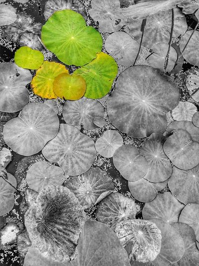 Lotus Leaves Lotus Leaf Leaf Leaves Leaves Collection Leaf Collection Leaf On The Water Leaves On The Water Leaf Photography Leaves Photography Nature Nature Photography Color Of Leaves Color Leaf Beauty Of Nature Colorful Leaf Colorful Leaves Color Of Nature Pattern Pattern Of Nature Pattern Of Leaf Color And Black White Color And B&w
