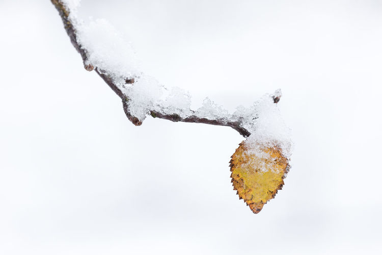 Snow covered branch with last leaf still hanging on it in late autumn Cold Temperature Snow Arctic Outdoors Winter Frozen Nature Close-up No People Day Ice Focus On Foreground White Color Leaf Single Object Hanging Autumn Branch - Plant Part Simplicity White Background Change Yellow Birch Tree Beauty In Nature Selective Focus