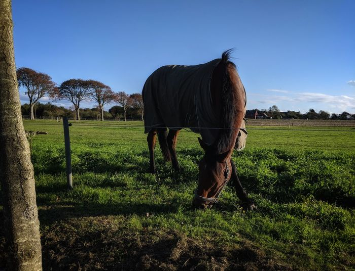 Horse on green grass with a blue sky in the background