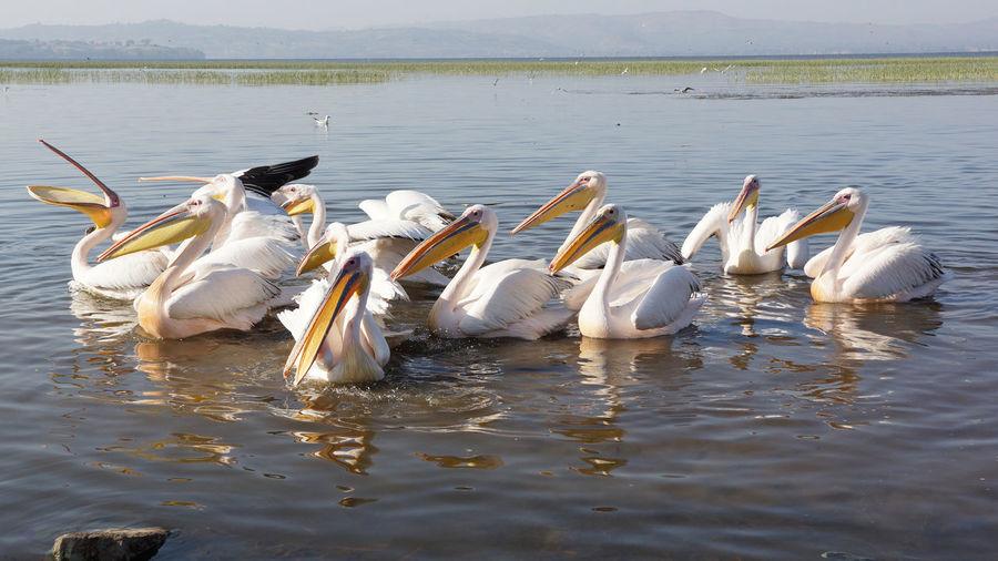 Pelicans On Lake Awasa