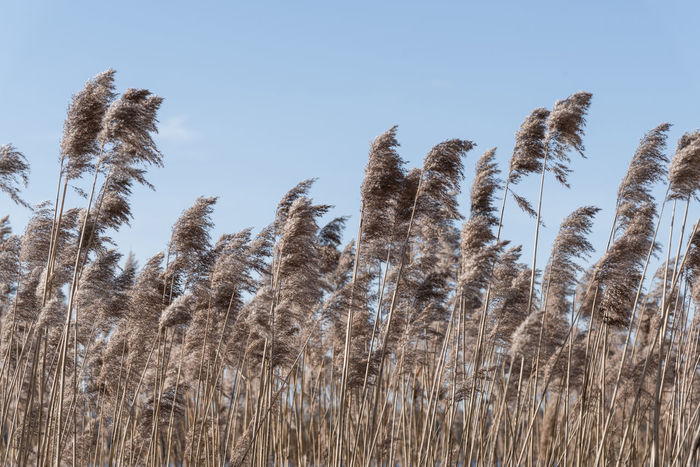 Beauty In Nature Clear Sky Close-up Day Growth Nature No People Outdoors Phragmites Phragmites Australis Plant Reed Sky