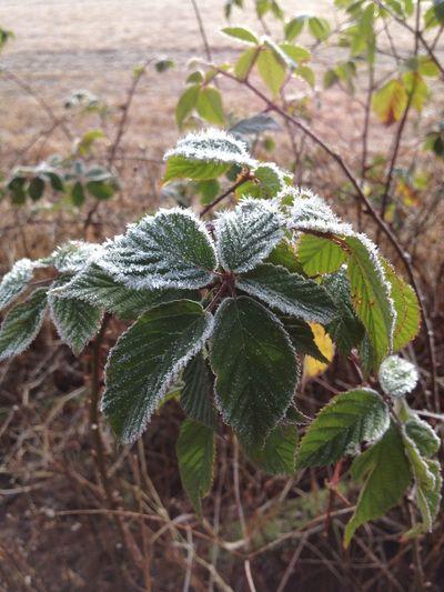 Frost Frozen Nature Frozen Plants Plant