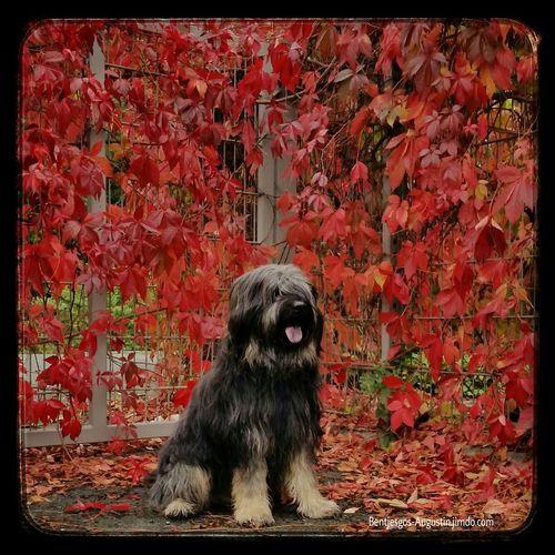 Bentjesgosaugustin Gos D'atura Ilovemydog Dog Walking #autumn