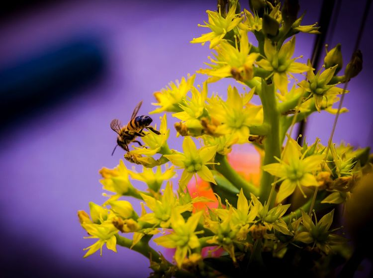 Flower Flowering Plant Insect Animal Themes Invertebrate Animal Animals In The Wild Bee Petal Plant Close-up Pollination Bumblebee Outdoors Yellow Flower Head Beauty In Nature Animal Wildlife Horned Abeja Abejorro Macro Nature Macro Photography