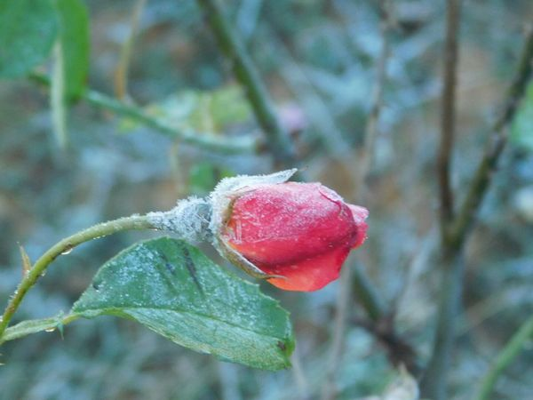 Growth Focus On Foreground Close-up Nature Day Beauty In Nature Winter No People Outdoors Plant Greenbrier, Arkansas Taking Photos Check This Out Enjoying Life StoryOfMyLife Firstfrost Beautiful Nature Frost On Rosebud