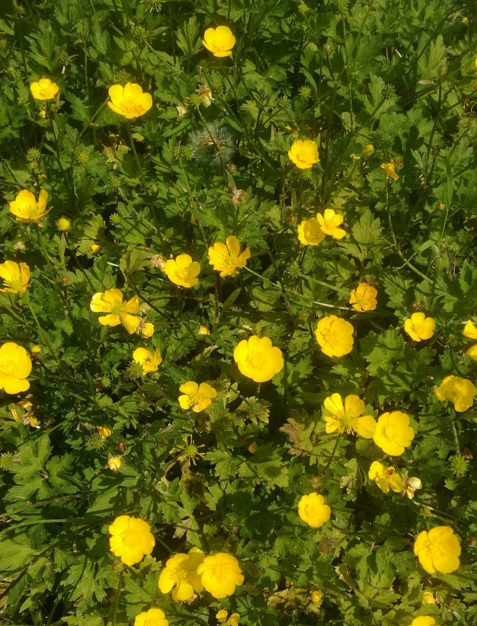 HIGH ANGLE VIEW OF YELLOW FLOWERING PLANTS IN FIELD