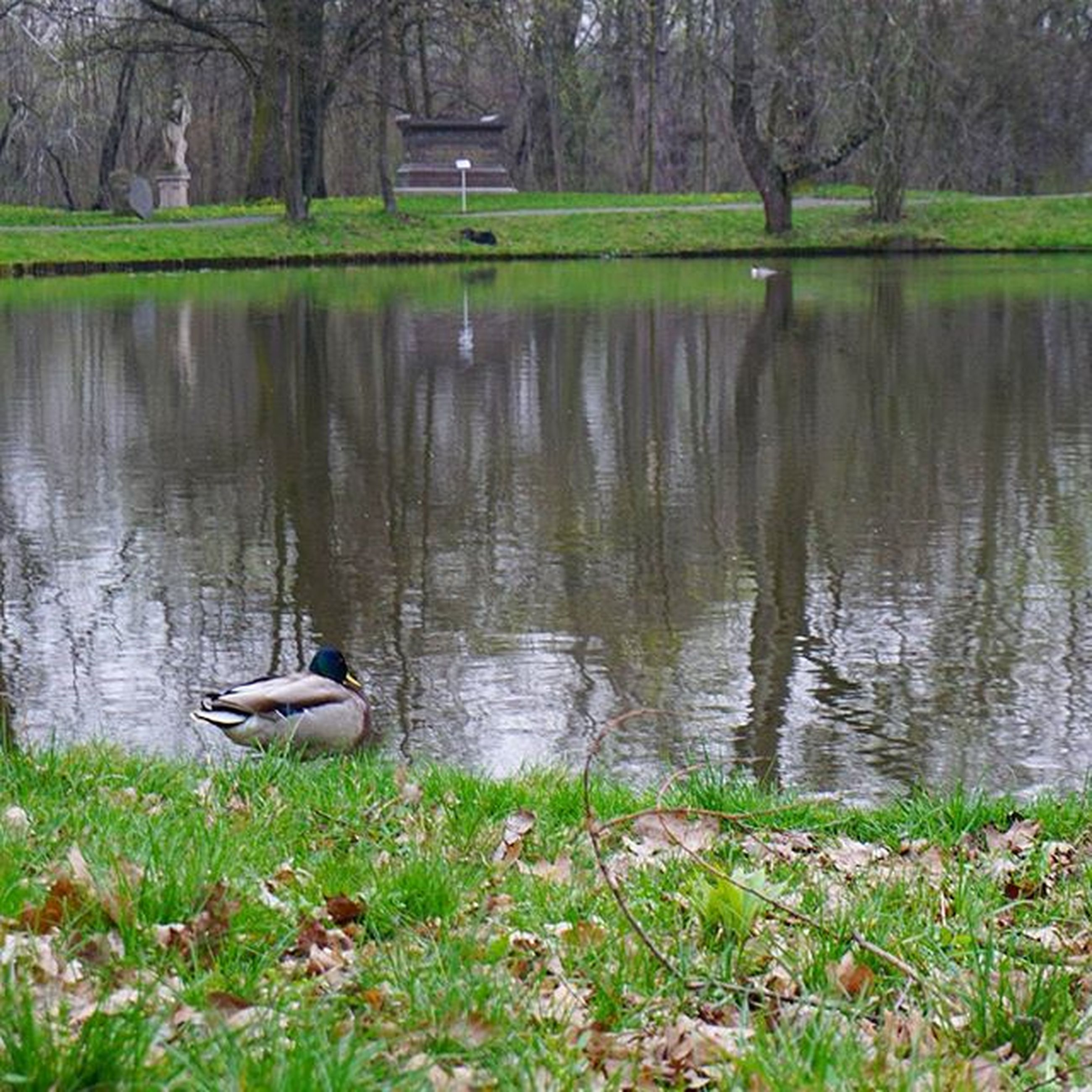 water, lake, grass, reflection, tree, bird, duck, wildlife, tranquility, animal themes, animals in the wild, nature, tranquil scene, green color, lakeshore, beauty in nature, pond, growth, day, outdoors