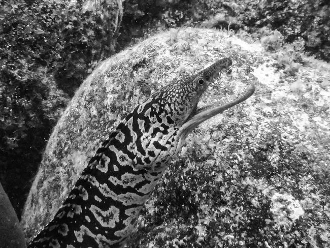 Animal Markings Beauty In Nature BSAC Close-up Monochrome Moray Eel Natural Pattern Nature SCUBA Underwater Photography Wildlife