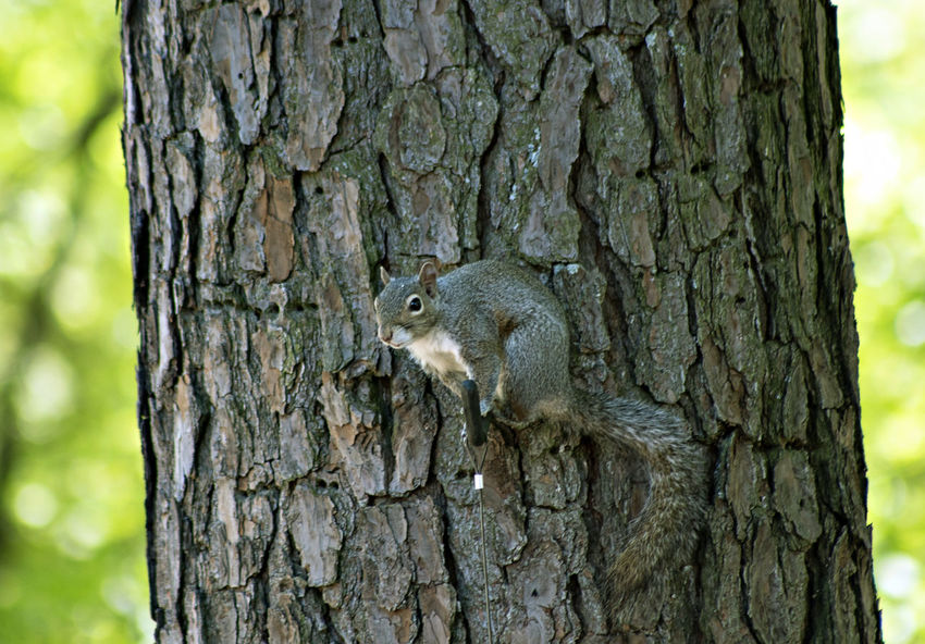 EyeEm Gallery Animal Animal Themes Animal Wildlife Animals In The Wild Close-up Day Focus On Foreground Mammal Nature No People One Animal Outdoors Plant Rodent Squirrel Textured  Tree Tree Trunk Trunk Vertebrate
