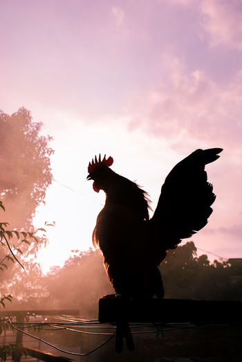 Rooster silhouette Silhouette Hem Rooster Roosters And Hens Chickens Animal Themes Animal Wildlife Animal One Animal Outdoors Sunset Sky Chickens >.< Everning EyeEm Nature Lover Pets