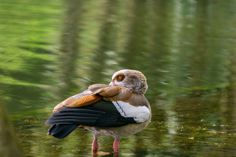 Close-up of a Egyptian Goose who stands in a Lake Alopochen Aegyptiaca Calm Egyptian Geese Feathers Pond Standing Tranquility Animal Bird Brown Close-up Day Duck Egyptian Goose Goose Lake One Animal Plumage Poultry Tranquil Scene Vertebrate Water