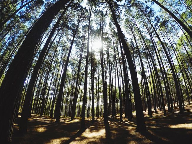 Tree Nature Sunlight Tranquility Beauty In Nature Tree Trunk Scenics Sunbeam Forest Tranquil Scene Growth Day Outdoors Low Angle View Non-urban Scene No People Landscape Sky Pine Forest Gopro The Great Outdoors - 2017 EyeEm Awards