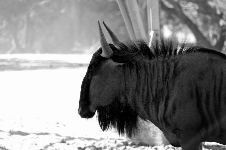 Wildebeest standing on field