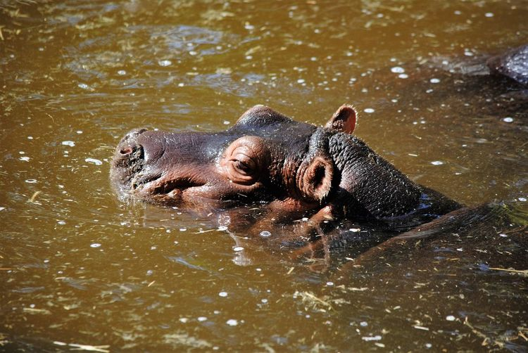 Close-Up Of A Hippopotamus In Water