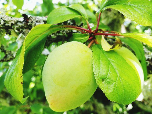 Red plum tree Tree Fruit Freshness Food