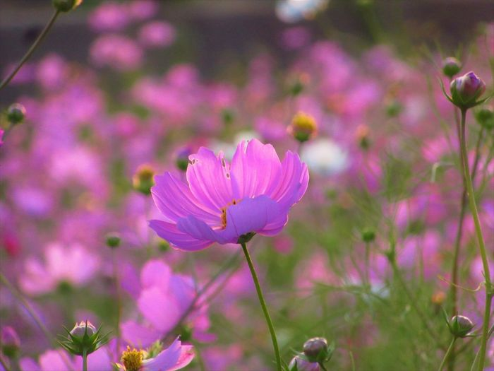 No People Outdoors Flower Purple Nature Pink Color Close-up Petal Plant Flowering Plant Cosmos Flower Cosmos
