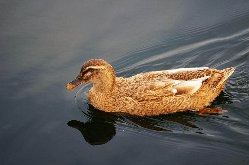 Bird One Animal Swimming Lake Animals In The Wild Water Animal Wildlife Animal Themes No People Water Bird Nature Outdoors Day Loonies