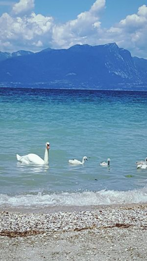 Swans at the Garda lake, Italy. Bird Animal Themes Animals In The Wild Water Mountain Wildlife Tranquility Swan Mountain Range Sea Scenics Nature Swimming Beauty In Nature Tranquil Scene Cloud Seagull Sky Shore Water Bird Zoology Swans Bird Animal Themes Animals In The Wild Water Mountain Wildlife Tranquility Mountain Range Sea Scenics First Eyeem Photo