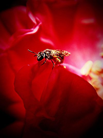Insect One Animal Red Petal Flower Wildlife Close-up Nature Animal Wildlife Fragility Outdoors Flower Head Bee Freshness