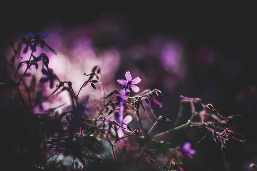 Beauty In Nature Blooming Bokeh Canon 85mm F1.2 L Fine Art Photography Flower Fragility Freshness Garajonay National Park Nature Poetic Photography Purple Purple Flower