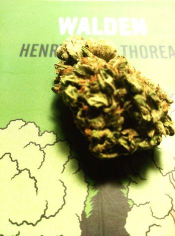 Walden Tuja Marihuana MariHuana! ;) Iloveweed Smokeweedeveryday Smoke Weed