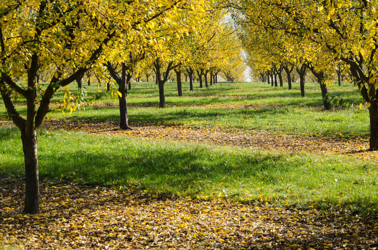 Agriculture Autumn Beauty In Nature Day Fruit Fruit Tree Golden Grass Green Color Growth Leaf Leaves Lorraine Mirabelle Mirabellier Nature No People Outdoors Path Scenics Tree Trees Way Yellow Yellow Leaves