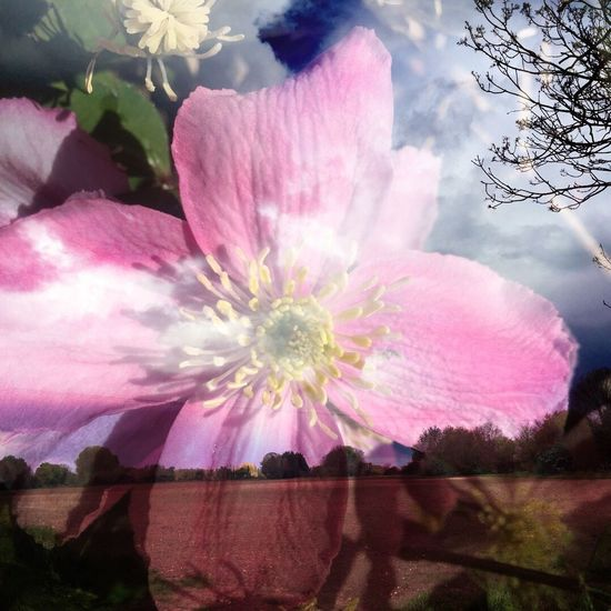 Flower Nature Beauty In Nature Growth Fragility Pink Color Petal No People Plant Overlay Editing Cut And Paste Overlay Freshness Flower Head Outdoors Sky Blooming Day Close-up Tree Cut And Paste