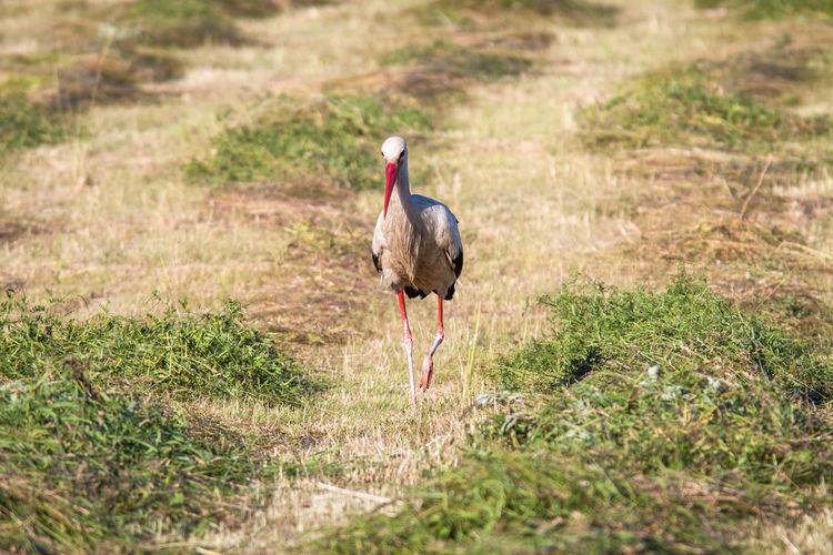 Stork Perching On Grassy Field